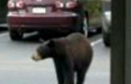 Several Bear Sightings in Nearby Shaler Township