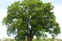 Researchers Looking At 'Oak Wilt' In Pennsylvania