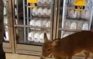 Deer Wanders Into Beaver Co. Supermarket