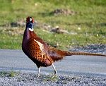 Pa. Hunters Harvest Wild Pheasants