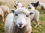Butler County 4-H Livestock Sale