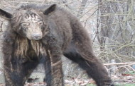 Black Bear With Mange Euthanized In Kittanning